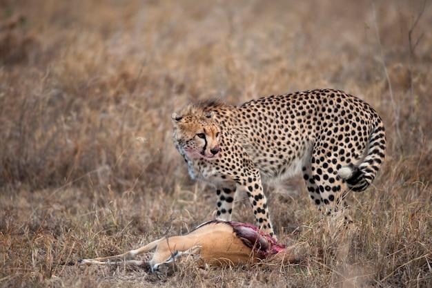 獲物、セレンゲティ国立公園、タンザニア、アフリカとチーター
