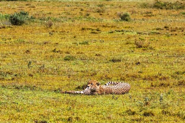Гепарды серенгети, танзания