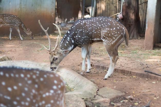 タイの動物園に住んでいる斑点鹿または軸鹿としても知られているキタルまたはcheetal