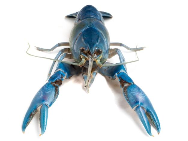 Синий рак (cherax деструктор) на белом фоне.