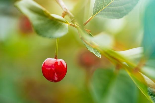 Вишни, висящие на ветке вишневого дерева