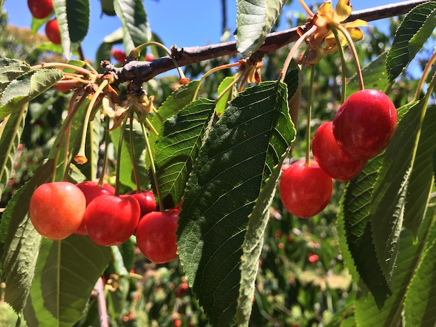 Cherries on tree branch on a sunny day