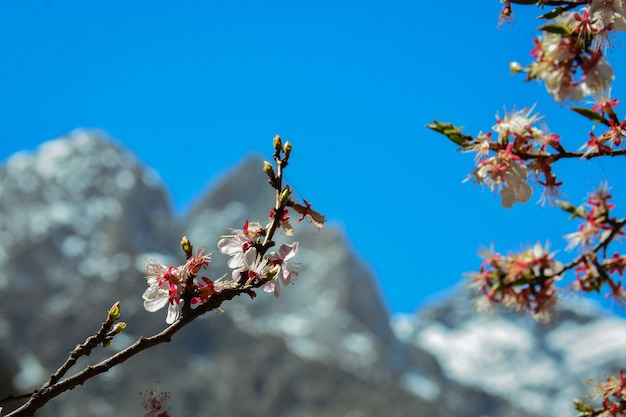 파키스탄 카라코람 산맥의 벚꽃과 아름다운 풍경.
