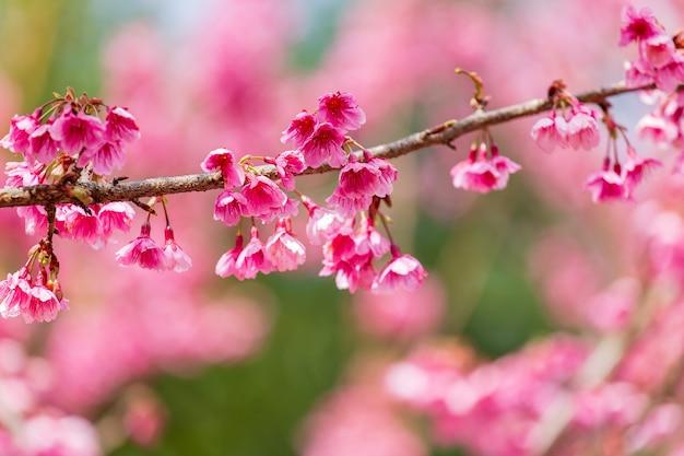 Цветение вишни и сакура