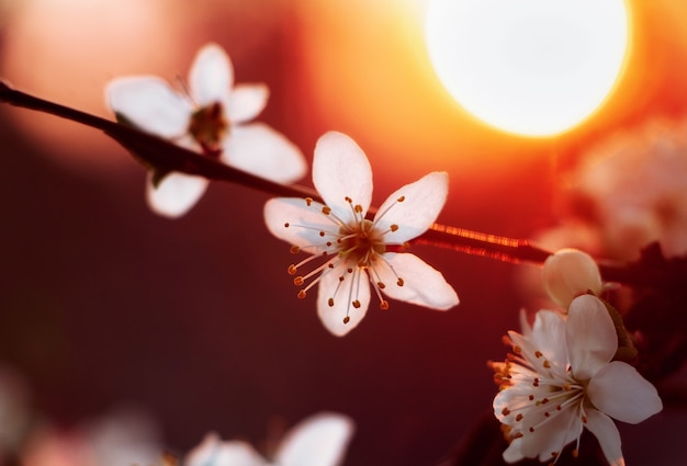 Cherry blossom at the blurred background of bright sun at dusk. selective focus.