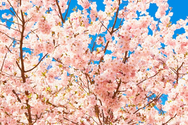 푸른 하늘을 배경으로 꽃이 만발한 벚꽃 가지 또는 사쿠라.