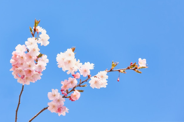Cherry blossom branch or sakura in bloom against the blue sky.
