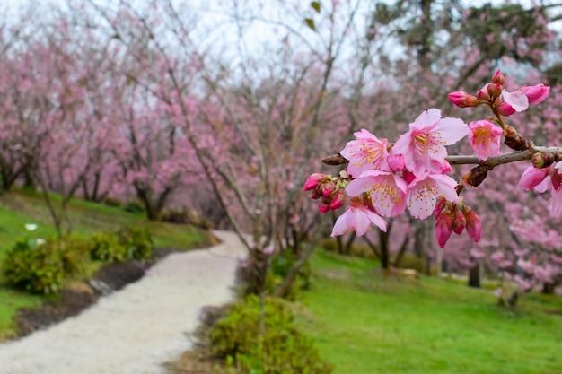 Cherry blossom in campos do jordao