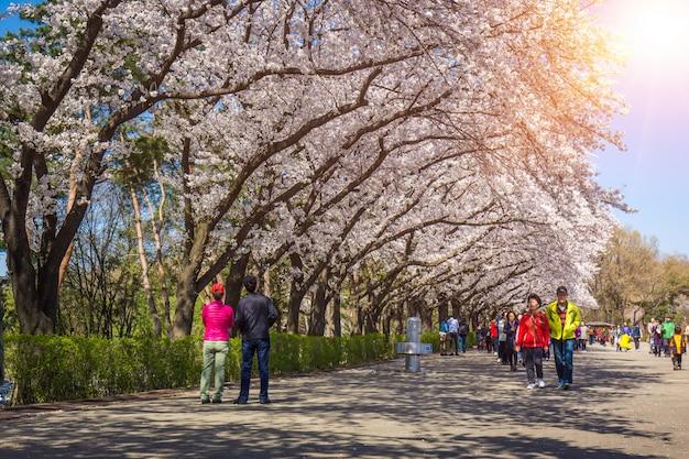 Cherry blossom festival in spring, seoul land south korea.
