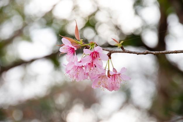Cherry blossom flowers , sakura flowers on nature background.