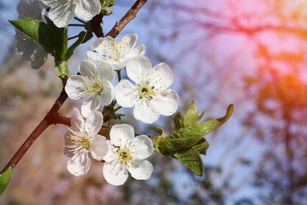 Цветы сакуры с росой на нем. свежая весенняя листва. солнечный луч на спине.