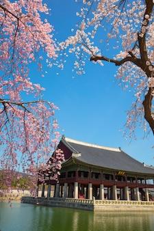 韓国、ソウルの景福宮で春の桜。