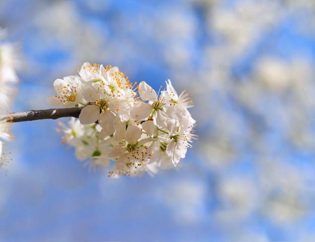 텍스트 배경 또는 복사 공간 봄 벚꽃