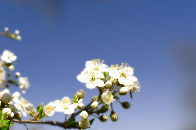 Вишневый цвет весной в саде.