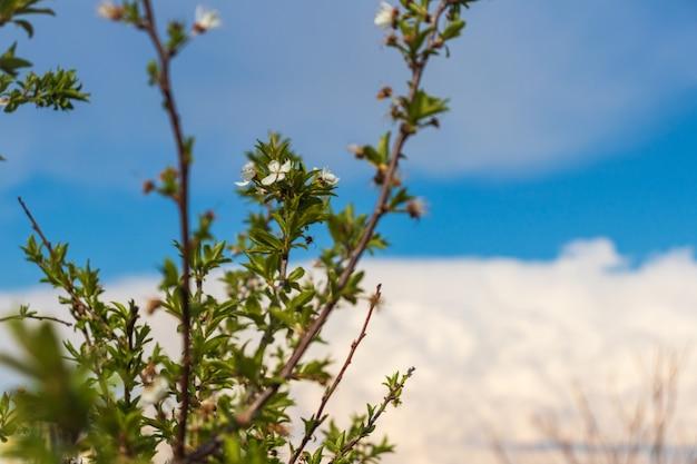 Вишневый цвет весной на фоне голубого неба и облаков. белые цветы сакуры на веточке с зелеными листьями