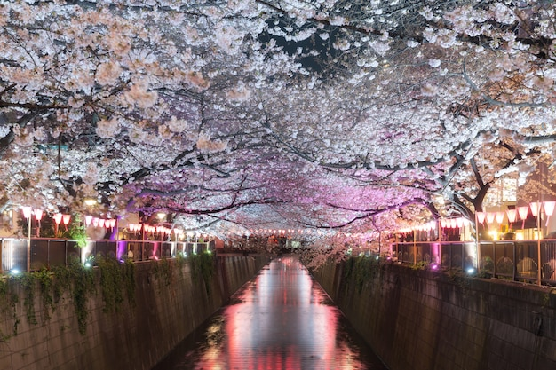 Cherry blossom lined meguro canal at night in tokyo, japan.