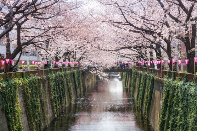 Cherry blossom lined meguro canal in tokyo, japan. springtime in april in tokyo, japan.