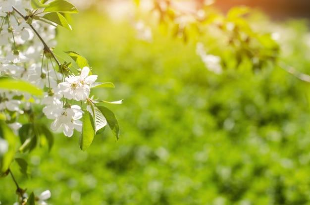 화창한 날의 벚꽃, 봄의 도착, 나무의 꽃이 만발한