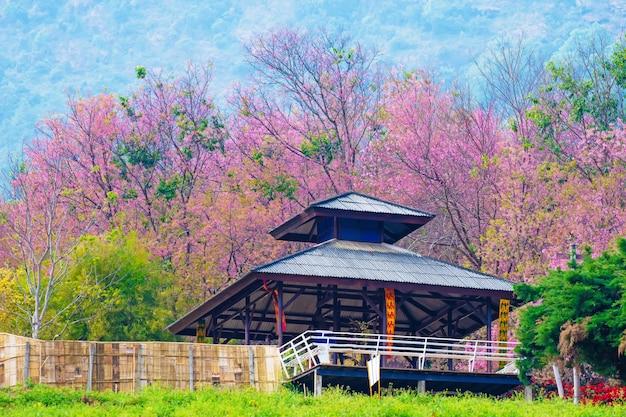 태국 북쪽에서 아침에 봄에 벚꽃