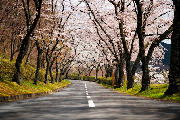 Cherry blossom path and road
