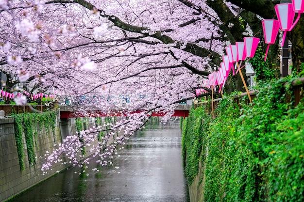 Filari di fiori di ciliegio lungo il fiume meguro a tokyo, giappone