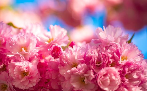 桜の花。さくら桜。日の出を背景に咲く花。春の桜、ピンクの花