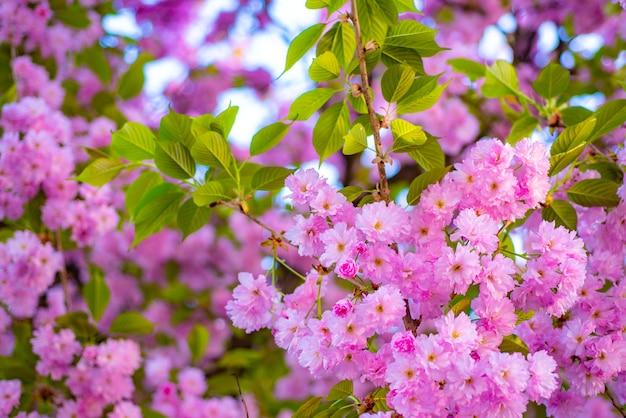 桜の花。さくら桜。サトザクラ。サトザクラ。自然の背景に花の木。春の花
