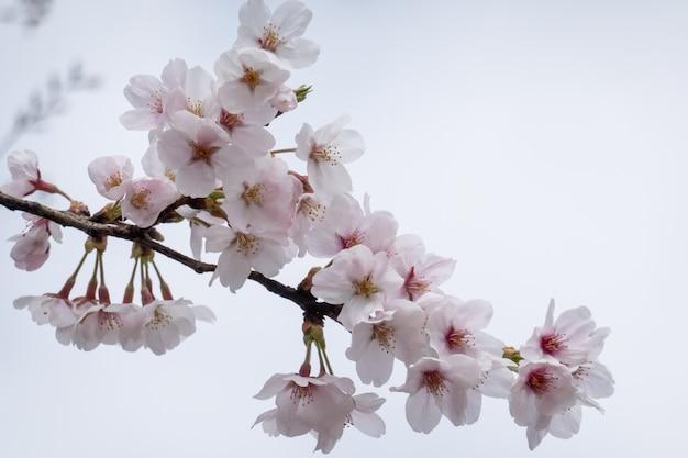 Cherry blossom, sakura branch with flowers