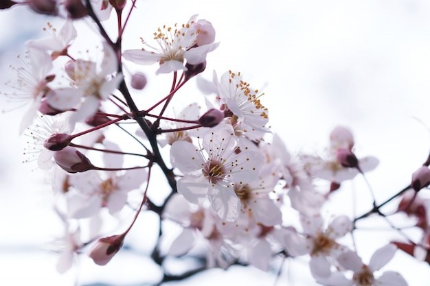 Cherry blossom or sakura flower on nature background.