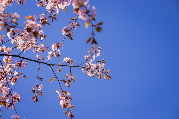 Cherry blossom, sakura flowers isolated on blue background.pink flowers on sky background in spring season.
