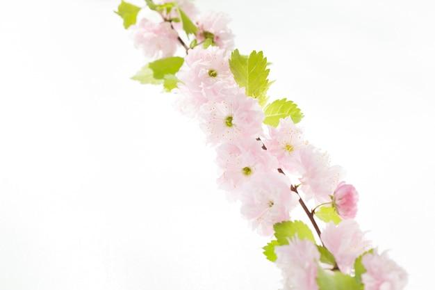 Вишневый цвет, цветы сакуры, изолированные на белом фоне