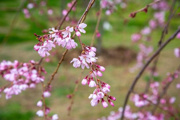 Вишневый цвет, цветы сакуры на дереве весной. вишневые деревья в саду
