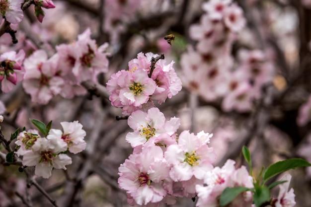 Cherry blossom, sakura tree blooming, pink flowers