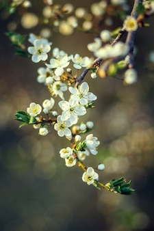 Cherry blossom in spring. branch white flowers on a yellow background, close up