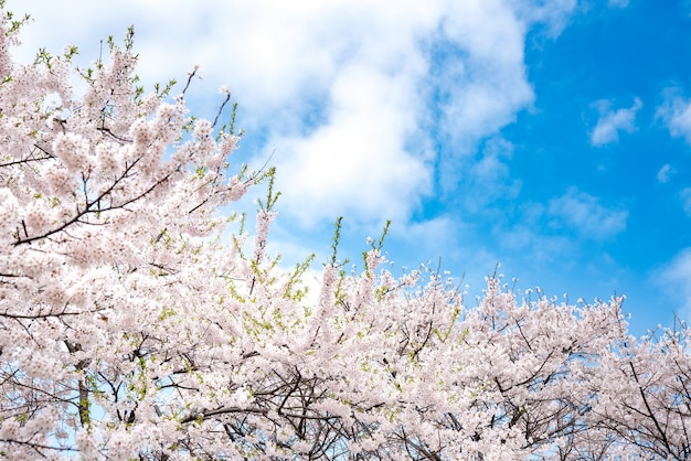 Cherry blossom in spring for and clear sky. copy space.