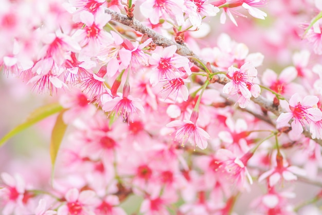 Cherry blossom in spring with soft focus
