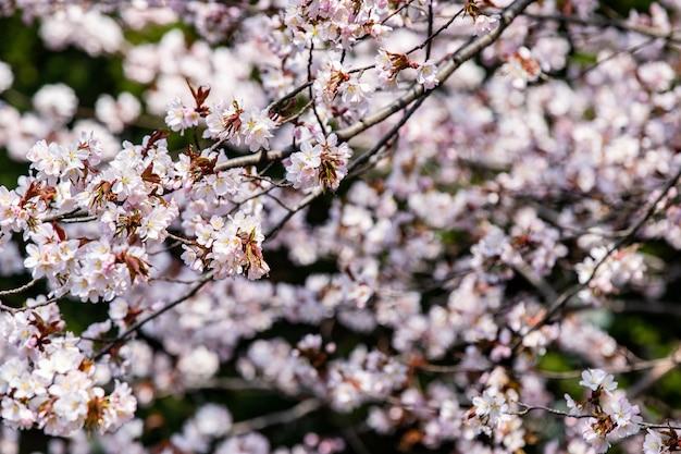 Вишневый цвет, весна сезонных цветов сакуры на хоккайдо, япония