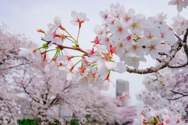 自然の中の桜の木