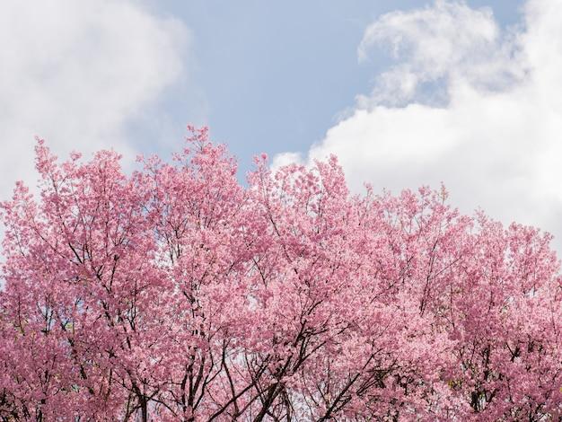 공원에서 봄 시간에 벚꽃 나무입니다.
