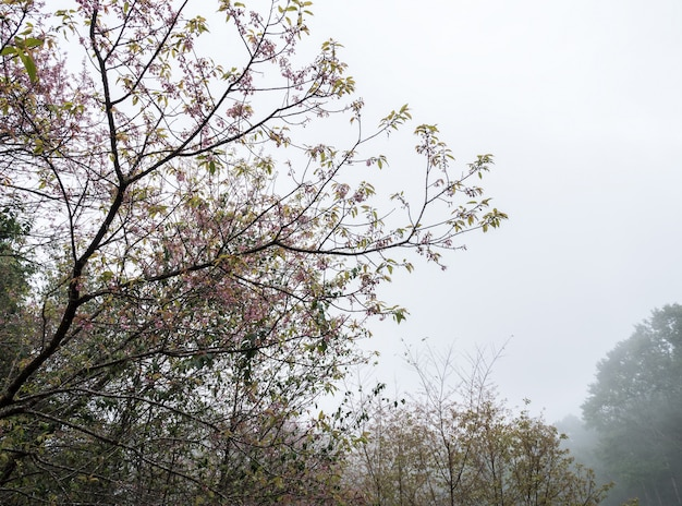 Cherry blossom tree is blooming with the light fog.