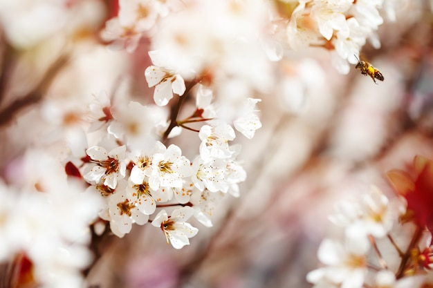 Cherry blossom tree in spring with beautiful flowers. gardening. selective focus.