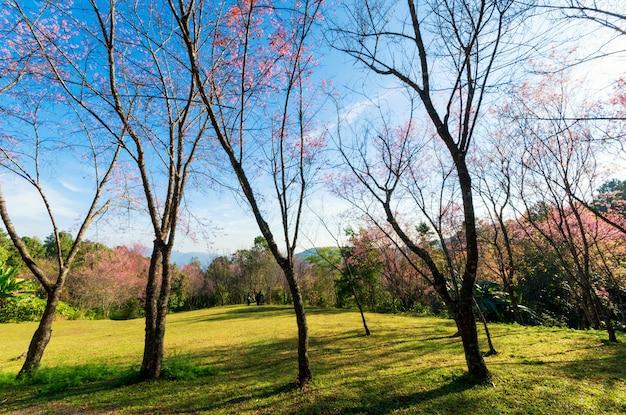 도 pha 탕 궁전, 치앙마이 태국에서 벚꽃 나무.