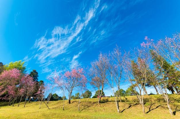 Cherry blossom trees at doi pha tang palace, chiangmai thailand.