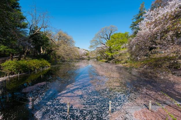 Вишневые деревья отражаются на озере в парке инокасира это знаменитый вид сакуры ...