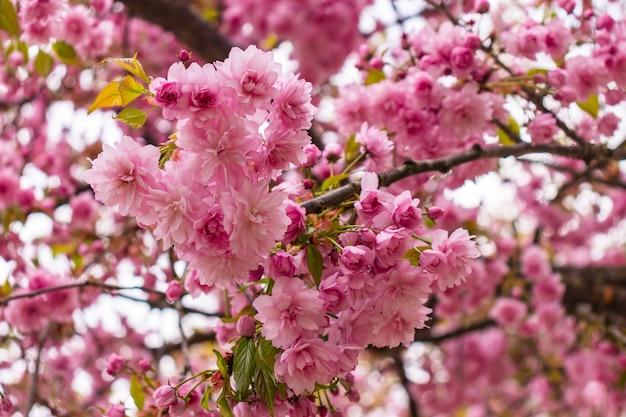 Цветение вишни с мягким фокусом, сезон сакуры в корее, фон