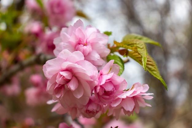 Cherry blossom with soft focus, sakura season in korea,background
