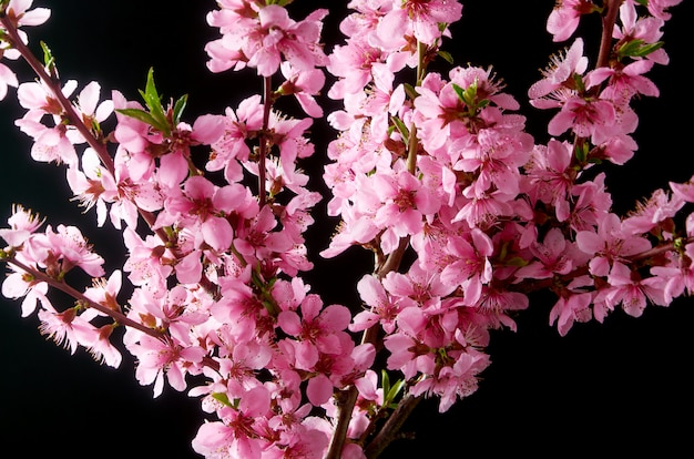 Cherry blossoming twig