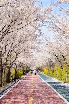 Cherry blossoms bloom on both sides of the road in spring.