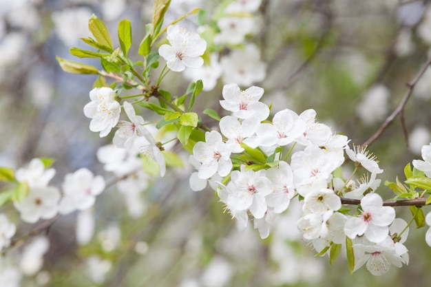 Cherry blossoms over blurred nature background. spring flowers. spring background with bokeh
