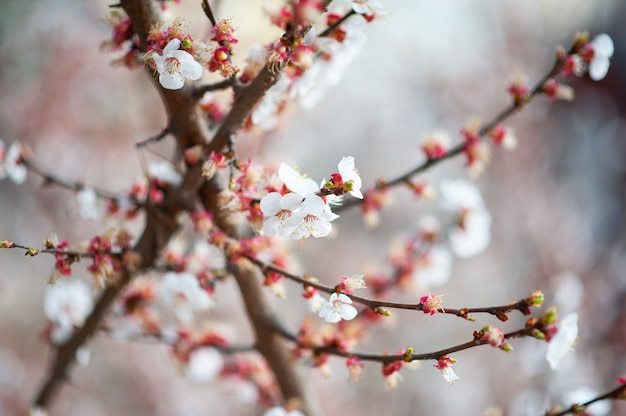 Cherry blossoms on branches in spring morning